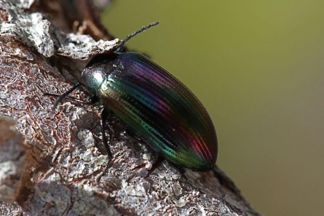 1:6虹色甲虫