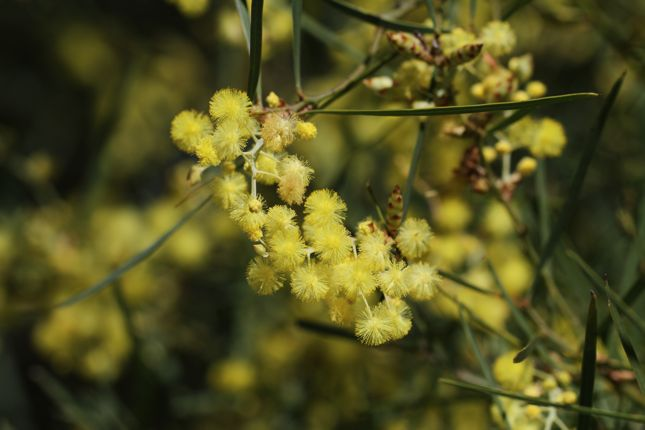 5:7Acacia iteaphylla花