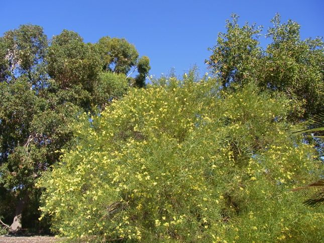5:7Acacia iteaphylla全体