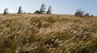 鉢伏山のすすき野
