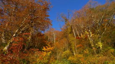 妙高小谷林道の紅葉