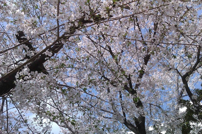 2011-04-10(日)クリーン活動桜