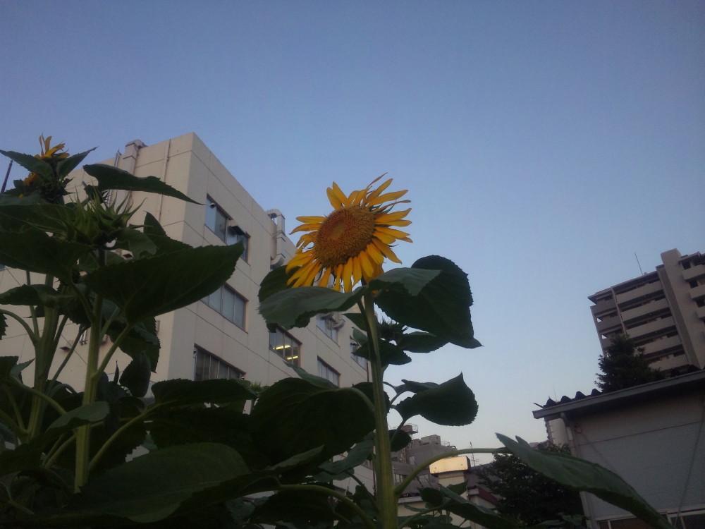 2011-07-16ひまわり