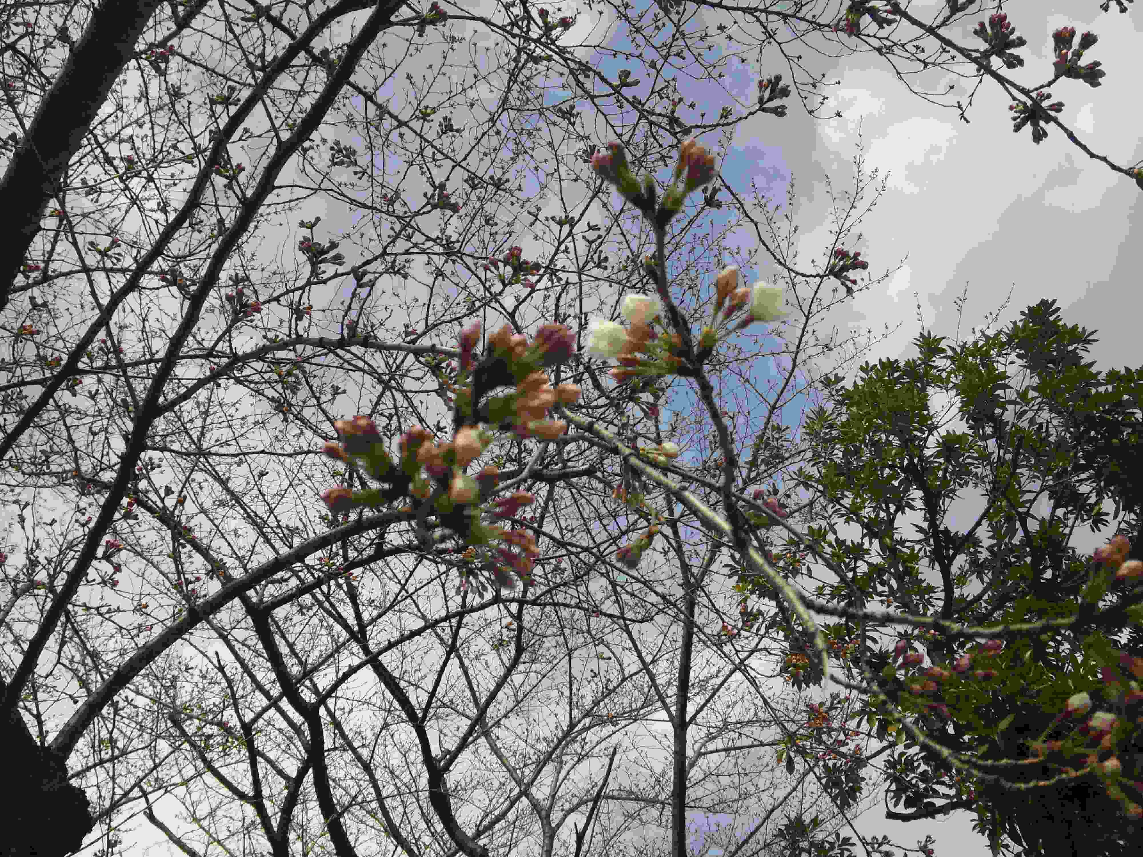 2010-03-22小豆沢北町会防災詰所前さくら