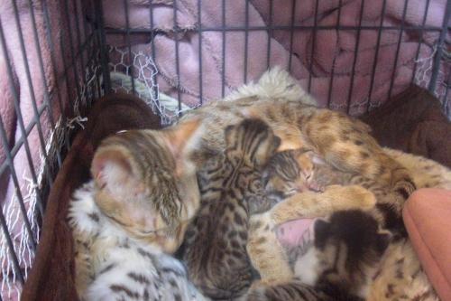 サクラに抱っこされる仔猫達