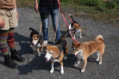 beagles-20111008-konta01.jpg