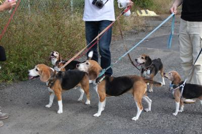 beagles-20111008-konta01_20111009103132.jpg