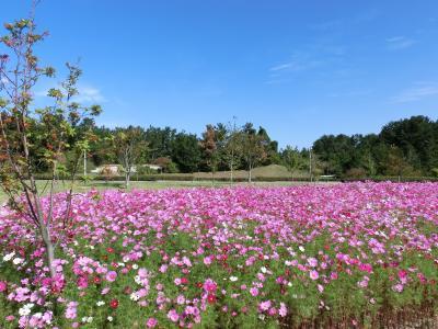 kosumosu-20111019-saezuri.jpg