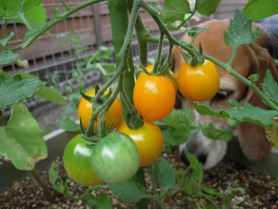 y-tomato-20110709.jpg