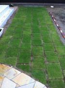 芝生1ヶ月後