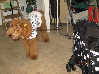 看板犬ミニーとナポ