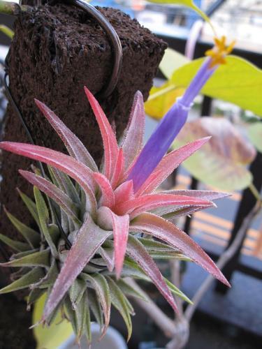 バンハイの開花 (3)