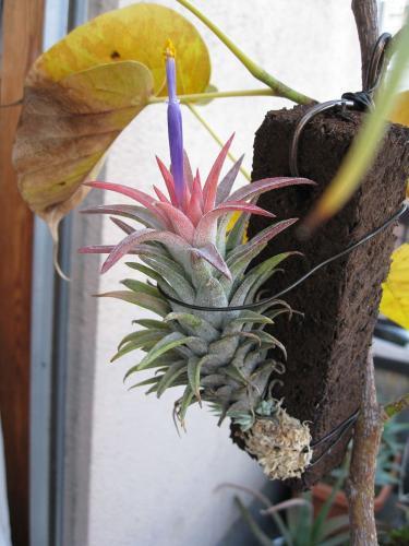 バンハイの開花 (2)