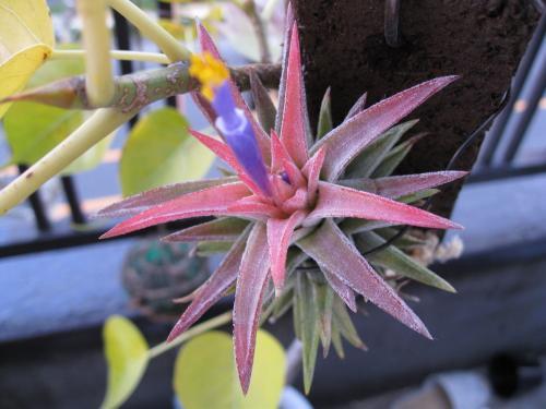 バンハイの開花 (1)