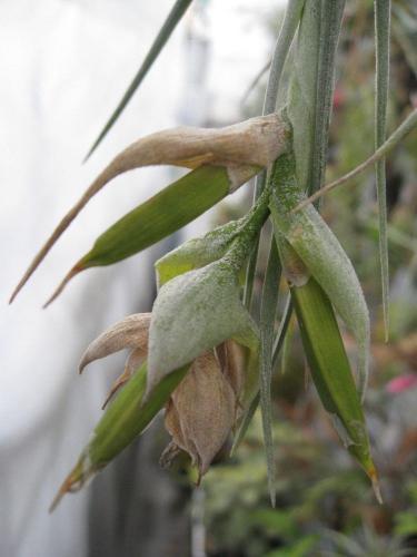 ポーリ種 (1)