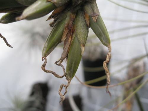 ジュンセア種 (2)