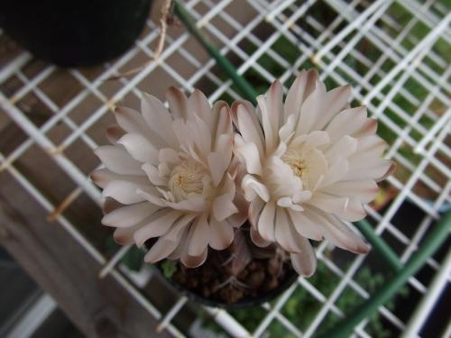 ギムノの開花