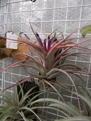 ベルティナ開花 (2)