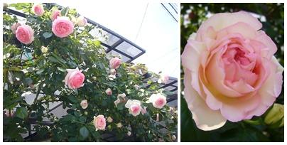 110514_rose_festa_01.jpg