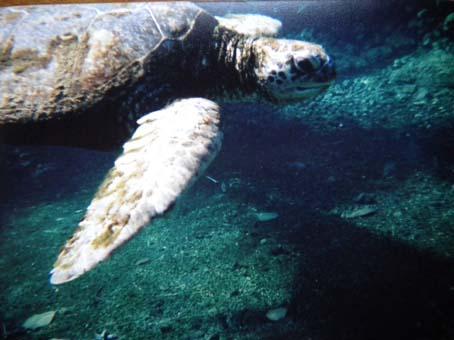honu_underwater3.jpg