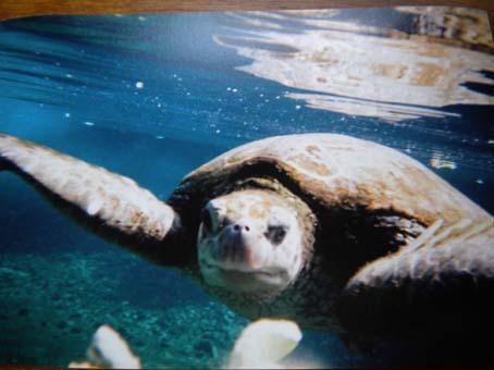 honu_underwater4.jpg