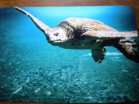 honu_underwater5.jpg