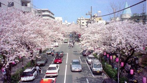 中野通りの桜並木