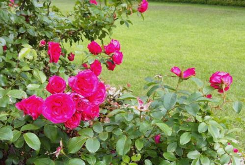 濃い色の薔薇