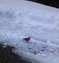 雪の中の鳩