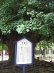 千葉寺銀杏
