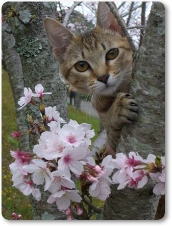 桜&さくら