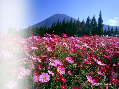 kosumosu01-1600-1200.jpg