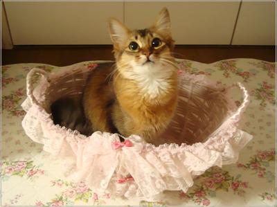 ソマリの猫・モンさんの姫かご