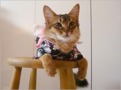 ソマリの猫モンさんの浴衣姿