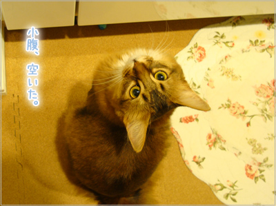 お腹すいたソマリの猫