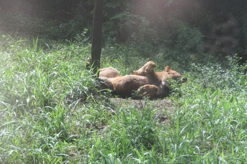 ライオンも猫のうち3