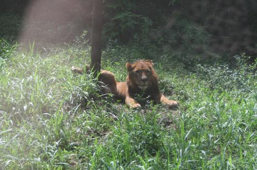 ライオンも猫のうち5