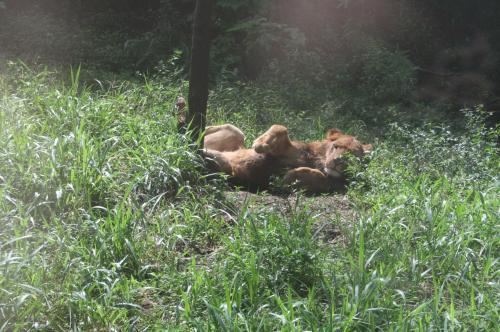 ライオンも猫のうち4