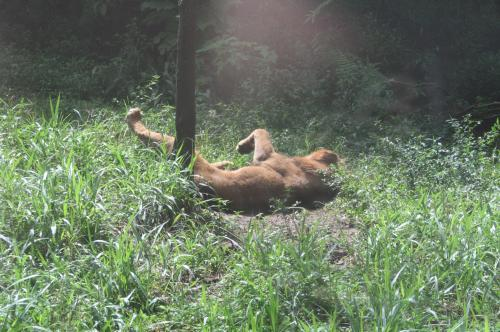 ライオンも猫のうち1