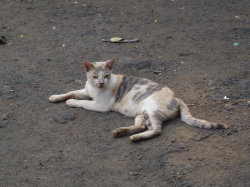 ジャカルタの猫1