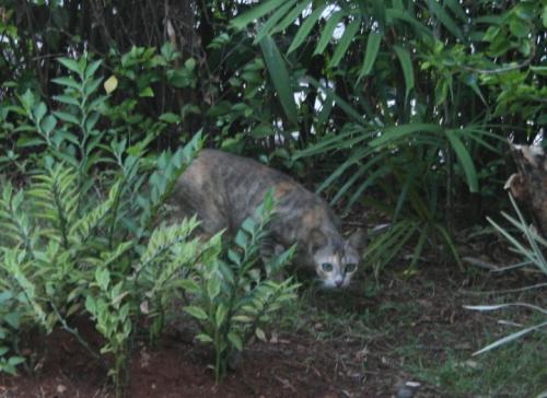 インドネシア猫2
