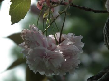 28 karasuba sakura