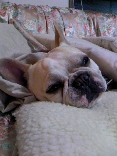 ソファで休むブル