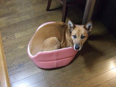b20110106チワワのベッドに… 003