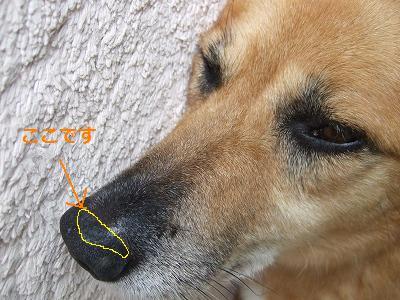 s-20110820老化現象の鼻 001