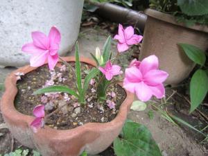 1.あっつ桜