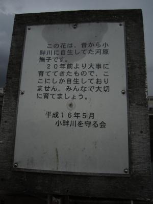 1.河原ナデシコ④