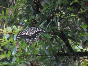 1.アゲハ蝶