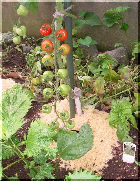 apple-tomato2.jpg
