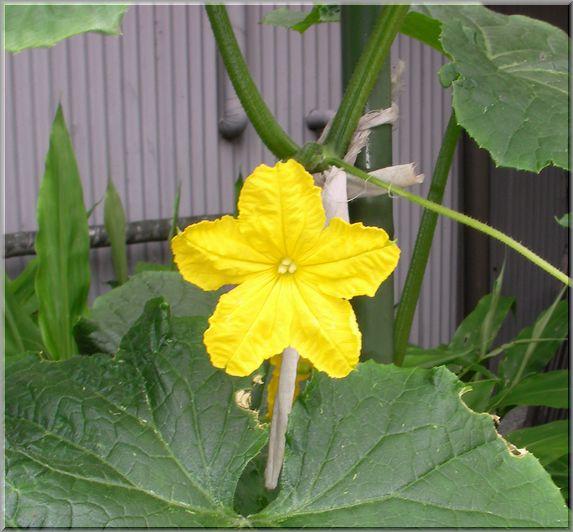 cucuflower1.jpg